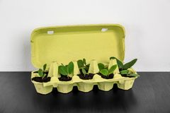 Cardboard eggs box used as container for growing plants. On wooden table against light background stock photography