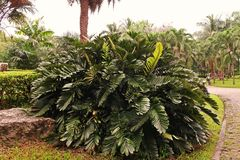 Cardboard palm or cardboard cycad. Cycads plant native to Mexico Stock Photography