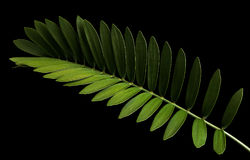 Cardboard palm or Zamia furfuracea or Mexican cycad leaf isolated on black background Royalty Free Stock Image