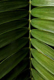 Cardboard palm or Zamia furfuracea or Mexican cycad leaf isolated on black background Royalty Free Stock Photo