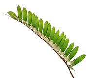 Cardboard palm or Zamia furfuracea or Mexican cycad leaf  isolated on white background Stock Photo