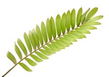 Cardboard palm or Zamia furfuracea or Mexican cycad leaf, Tropical foliage isolated on white background, with clipping path. Cardboard palm or Zamia furfuracea Stock Photography