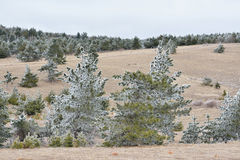 Cardboard trees. High-contrast snow pine-trees on Ai-Petri mountain. Looks like flat cardboard Stock Images