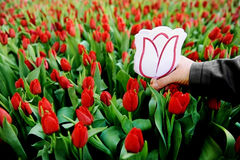 Cardboard tulip in a field of red tulips Royalty Free Stock Photo