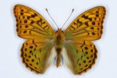 Cardeal, borboleta de pandora do Argynnis Fotos de Stock