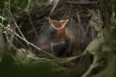 Cardeal do bebê em um ninho com a boca aberta que espera a Imagens de Stock Royalty Free