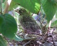 Cardeal do bebê no ninho sob as folhas da árvore Foto de Stock