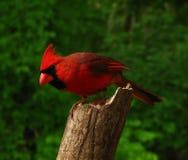 Cardeal do norte Foto de Stock Royalty Free