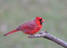 Cardeal do norte (cardinalis dos cardinalis) Imagem de Stock