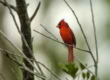 Cardeal do norte (cardinalis dos cardinalis) Fotografia de Stock Royalty Free