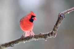 Cardeal do norte em um dia gelado no inverno imagem de stock royalty free