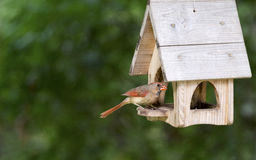 Cardeal do norte fêmea - cardeais de Cardinalis imagem de stock royalty free
