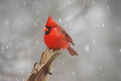 Cardeal do norte masculino (cardinalis dos cardinalis) imagem de stock