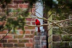 Cardeal do norte na árvore imagens de stock royalty free