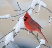 Cardeal do norte na tempestade de neve Imagens de Stock Royalty Free
