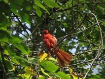 Cardeal em uma árvore Imagens de Stock Royalty Free