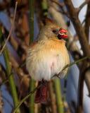 Cardeal fêmea com a semente de girassol no bico Foto de Stock