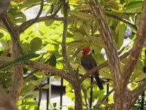 Cardeal havaiano em repouso em uma árvore do Plumeria Foto de Stock Royalty Free