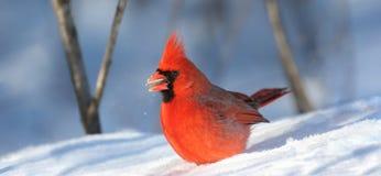 Cardeal masculino vermelho na neve durante o inverno imagens de stock royalty free