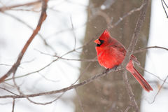 Cardeal na árvore Foto de Stock Royalty Free