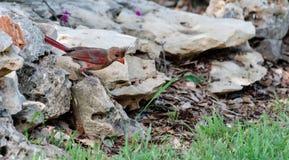 Cardeal nas rochas Foto de Stock Royalty Free