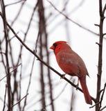 Cardeal vermelho Fotografia de Stock