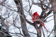 Cardeal vermelho em um ramo no inverno Imagem de Stock Royalty Free