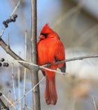 Cardeal vermelho em uma árvore imagem de stock