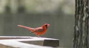 Cardeal vermelho no Sun Fotografia de Stock