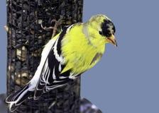 Cardellino americano maschio (tristis dello spinus) Fotografia Stock Libera da Diritti