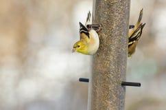 Cardellino americano su un alimentatore dell'uccello Fotografia Stock