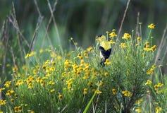 Cardellino e wildflowers americani gialli, Walton County, Georgia U.S.A. Immagini Stock