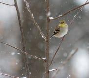 Cardellino nella bufera di neve in legno che esamina alimentatore fotografia stock