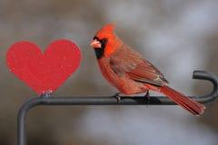 Cardenal con un corazón Fotografía de archivo