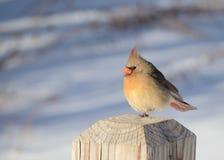 cardenal de sexo femenino Fotos de archivo libres de regalías