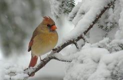 Cardenal de sexo femenino en nieve Imagen de archivo libre de regalías