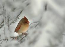 Cardenal de sexo femenino en nieve del invierno Imagen de archivo