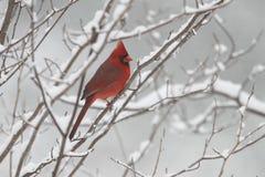 Cardenal de sexo masculino en invierno fotos de archivo