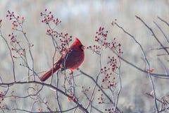 Cardenal del invierno Foto de archivo