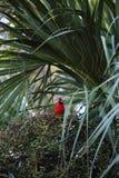 Cardenal en el Palm Harbor del parque de las paredes Foto de archivo