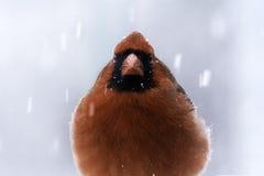 Cardenal en invierno Imagen de archivo libre de regalías