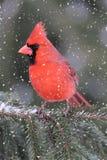 Cardenal en una tormenta de la nieve Foto de archivo libre de regalías