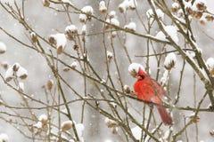 Cardenal en una tormenta de la nieve Imagen de archivo libre de regalías