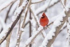 Cardenal norteño en nieve Foto de archivo libre de regalías