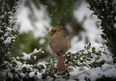 Cardenal norteño en nieve Imagenes de archivo