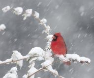 Cardenal norteño en tempestad de nieve Fotografía de archivo libre de regalías