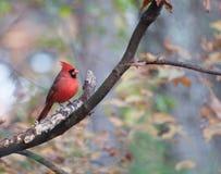 Cardenal rojo brillante en rama Imagen de archivo