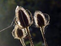 Cardencha en la sol Fotografía de archivo