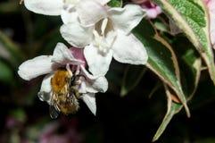 Carder μέλισσα που επικονιάζει ένα λουλούδι Weigela Φλώριδα στο UK Στοκ εικόνες με δικαίωμα ελεύθερης χρήσης