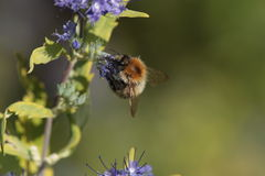 Carder bee. Royalty Free Stock Images